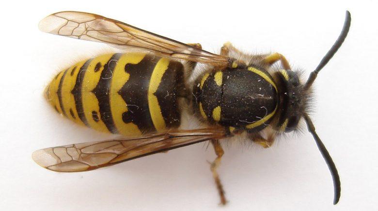 wasps control